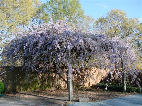 planting a wisteria plant profile wisteria