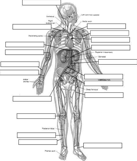 circulatory system diagram worksheet arteries label jpg
