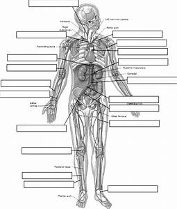 Label The Vessels Of The Human Body