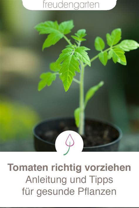 tomaten pflanzen anleitung tomaten auss 228 en freudengarten tomaten pflanzen