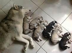 cute-husky-puppies-sleeping-floor  Adorable Husky Puppy Sleeping