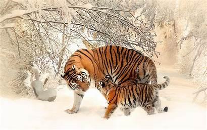 Tiger 4k Wallpapers Tigers Animals Birds