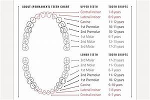 Adult Teeth Chart