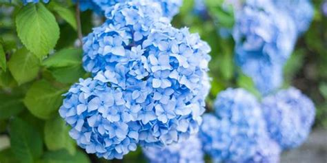 come curare l ortensia in vaso ortensia come coltivarla in vaso o in giardino