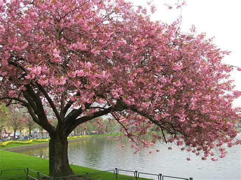 different types of cherry blossom trees trees dogs and turtles