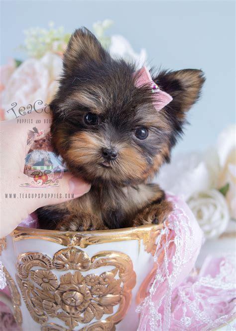 tiniest teacup yorkie puppy  sale teacups puppies