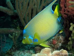QUEEN ANGELFISH (Holacanthus ciliaris) – BAHAMAS REEF FISH ...