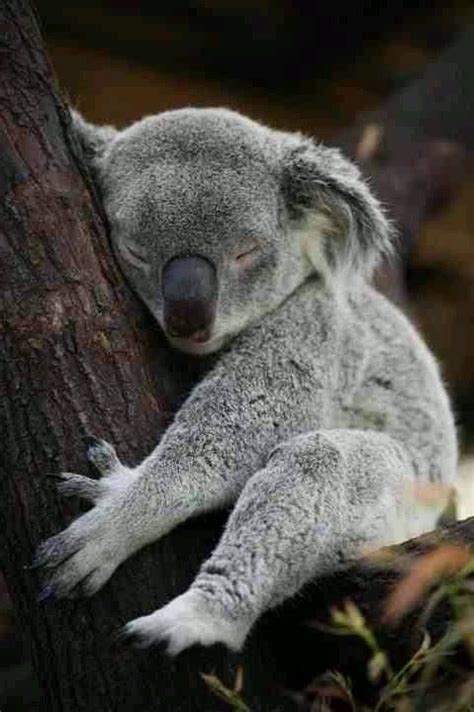 koala bear wallpapers hd