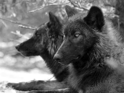 wolf quotes quotesgram