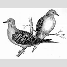 Witterings Turtle Doves