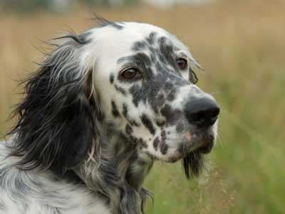 english setter information characteristics facts names