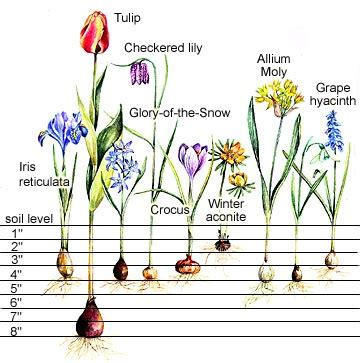planting charts for flowering bulbs