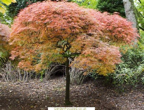 acer trees images pictures information of acer palmatum ornatum
