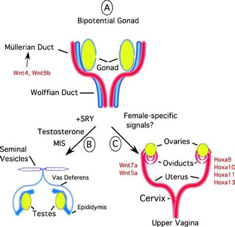 uterine stem cells stembook