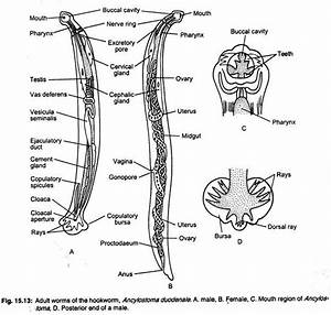 Ancylostoma Duodenale  Habitat  Morphology And Life Cycle