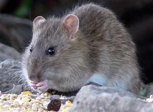 Was Fressen Ratten : stadt kehl sagt ratten den kampf an ~ One.caynefoto.club Haus und Dekorationen