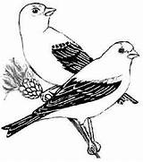 Goldfinch Coloring Designlooter Eastern Drawings sketch template