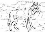Coyote Coloring Pages Animal sketch template
