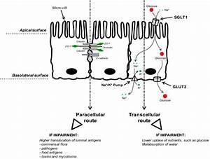 Intestinal Epithelial Cells  Iecs