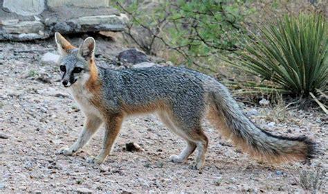 Gray Fox - OVLC : OVLC