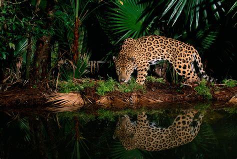spot  difference   jaguar   leopard