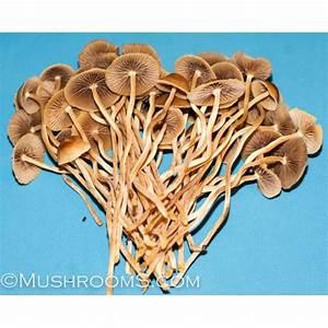 Psilocybe Mexicana Mushroom Spore Magic Mushroom Spores