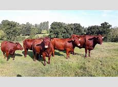 Gallery Red Poll Cattle Society