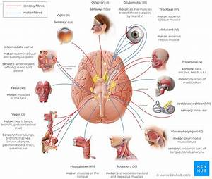 Cranial Nerves  Anatomy  Names  Functions And Mnemonics