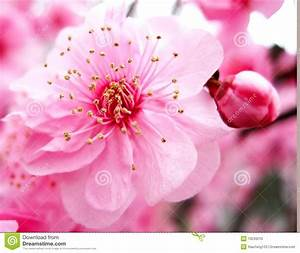 Pink peach blossom stock image Image of growth, petal