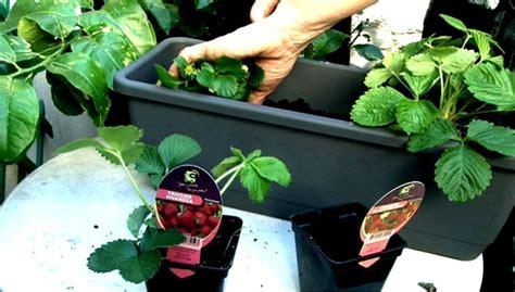 planter des fraises comment planter des fraisiers dans une jardini 232 re une vid 233 o