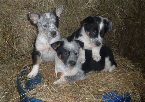 kelpie cross welsh collie pups  sale brecon powys