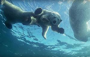 Patient Mother Polar Bear Teaches Her Cubs To Swim
