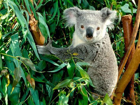 animal photo koala wallpaper