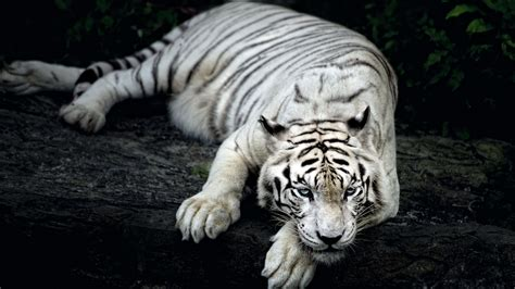 white tiger animal wallpapers hd wallpapers id