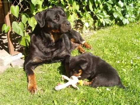 rottweiler dog standard pictures images