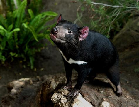 The devil's fur is all black just like its body. Healthy Tasmanian Devils found in major breakthrough for mission to save species from extinction ...
