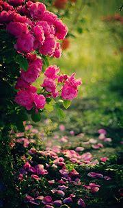 Pink roses flowers mobile wallpaper - HD Mobile Walls