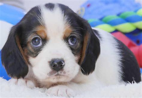 beaglier puppies  sale chevromist kennels puppies