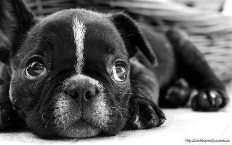 french bulldog puppy wallpaper desktop wallpapers