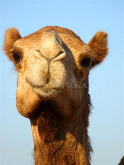 front face arabian camel head close  stock photo image