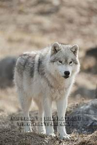 More Photographs of Arctic Wolves and Arctic Wolf Pups.
