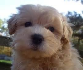 Non-Shedding Dog Breeds for Sale
