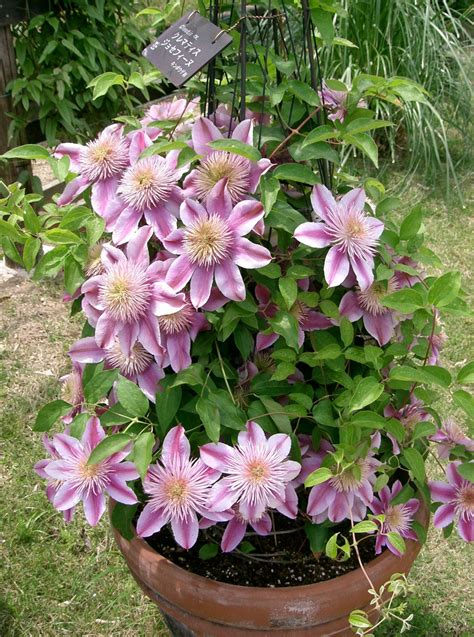 Top 10 Climbing Plants For A Small Trellis Dengarden