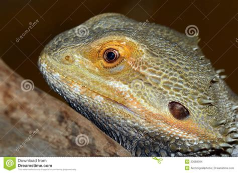 bearded dragon lizard stock images image 23068704