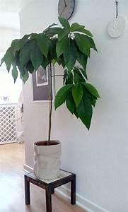 Avocado Pflanze Richtig Schneiden : die besten 25 avocadobaum ideen auf pinterest advocado ~ Lizthompson.info Haus und Dekorationen
