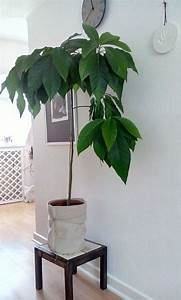 Avocado Baum Pflege : 25 best ideas about avocadobaum on pinterest avocado z chten avocado pflanze and avocado pflanze ~ Orissabook.com Haus und Dekorationen