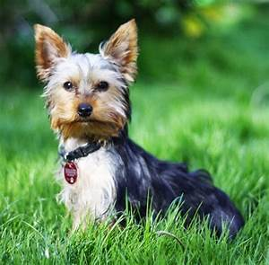 best therapy dog breeds