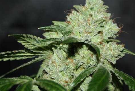 the dog by breeders boutique seedfinder strain info