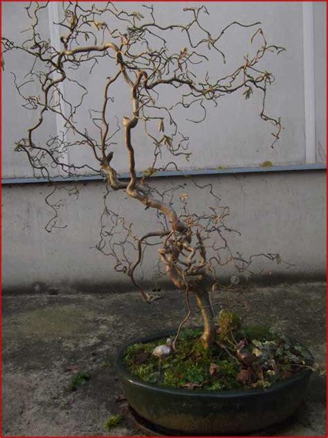 noisetier tortueux en pot les bonsais d armel