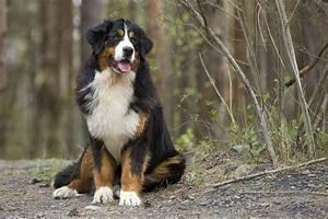 Berner Sennenhund Gewicht : berner sennenhund lebenserwartung lebensdauer ~ Markanthonyermac.com Haus und Dekorationen